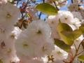 Blühende-Bäume